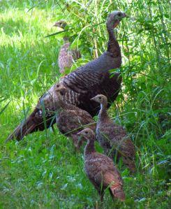 Wild_turkey_and_juveniles